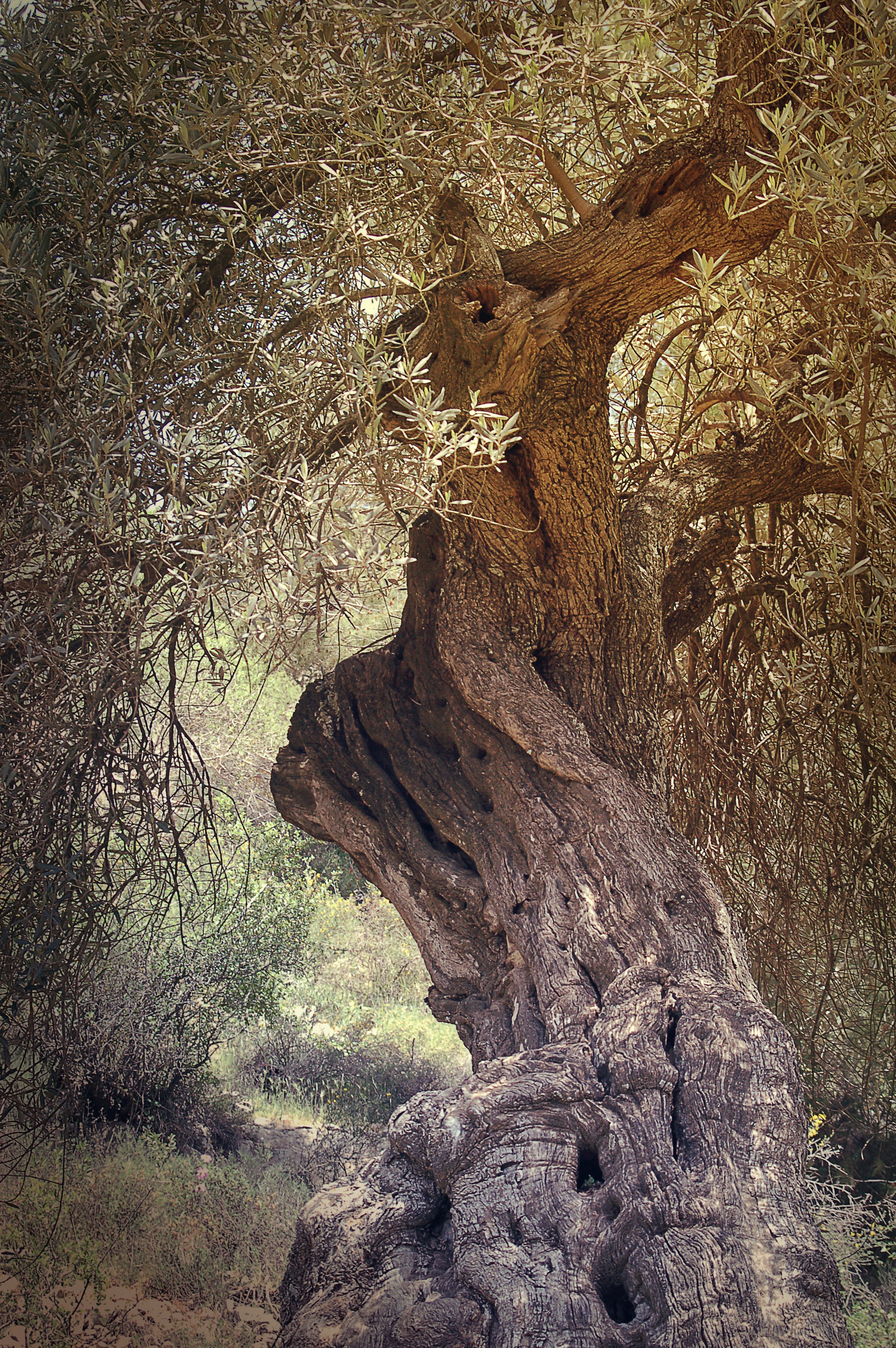 ancient, tree, olive, israel, historical, holy,