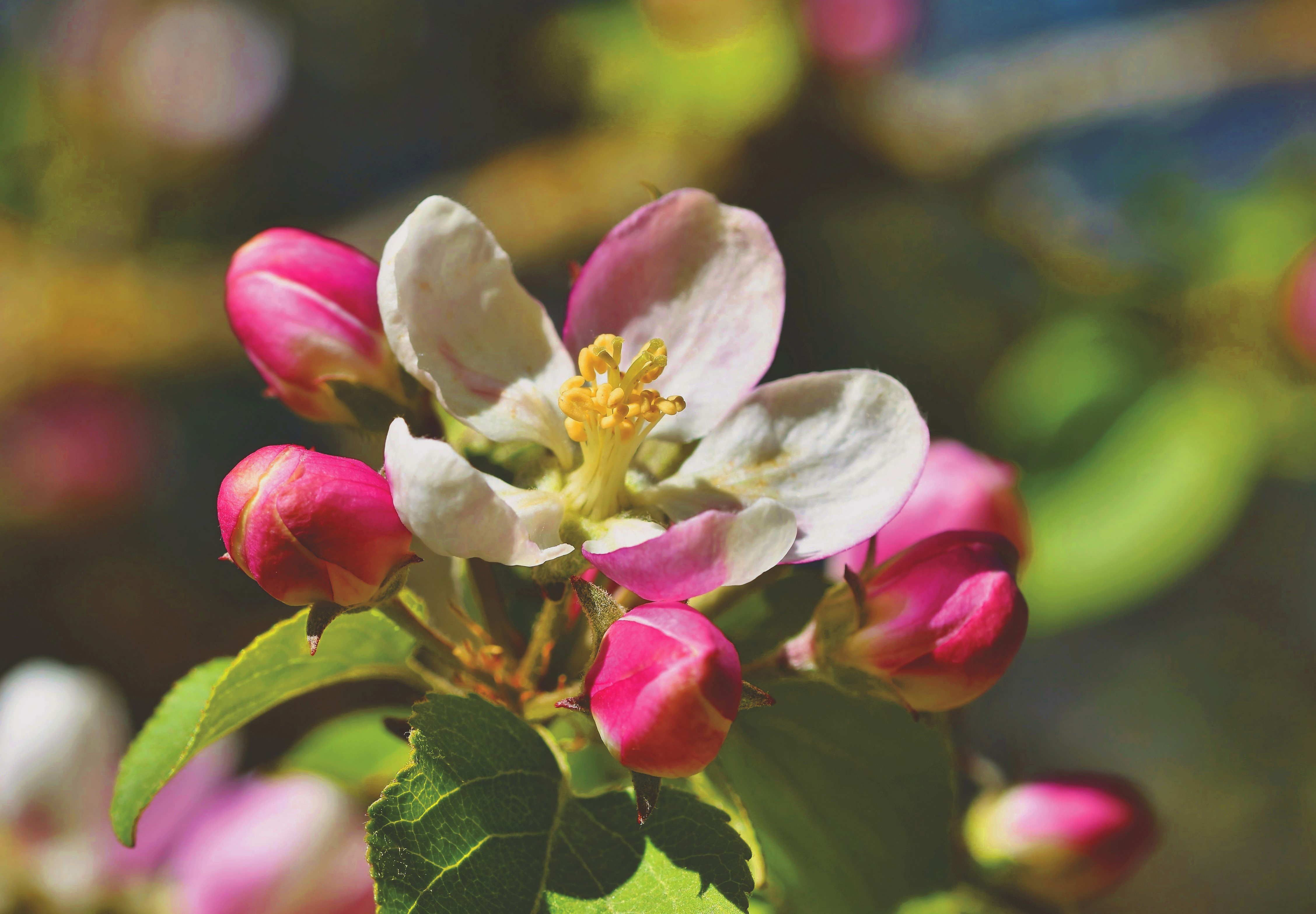 apple blossoms, apple tree, bloom, spring, bloom, white,