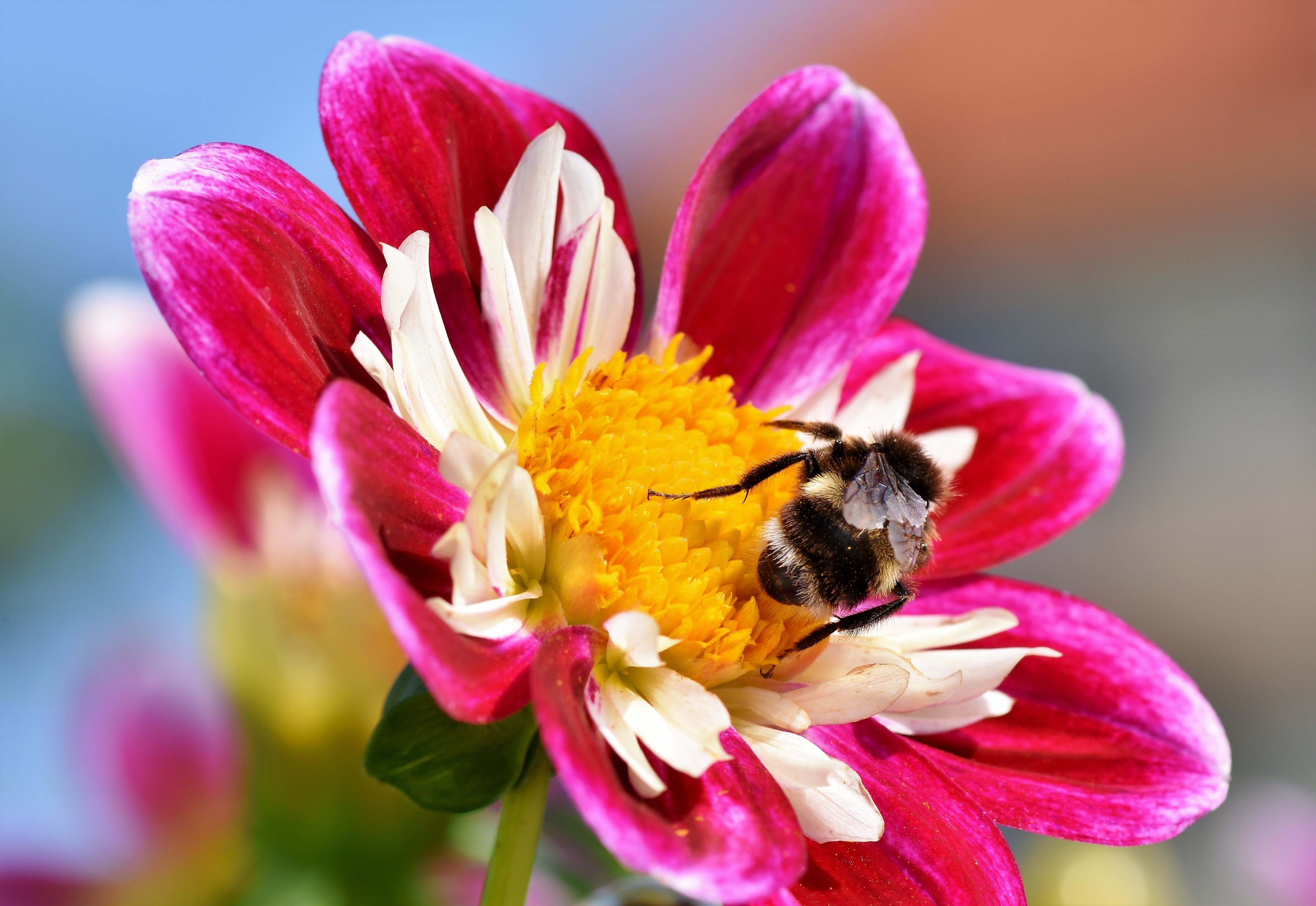 bee, sit, flower, bloom, plant