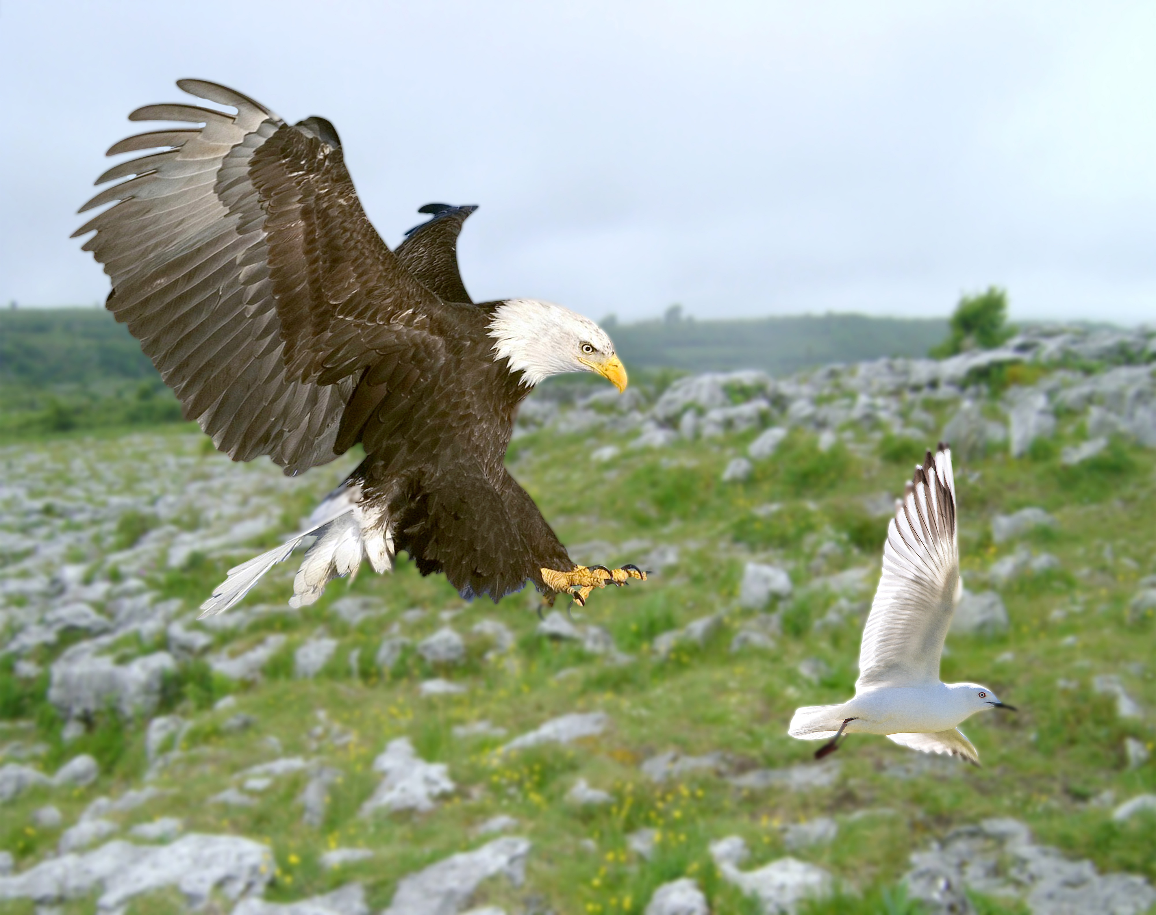 bird, eagle, bald eagle, hunting, flying