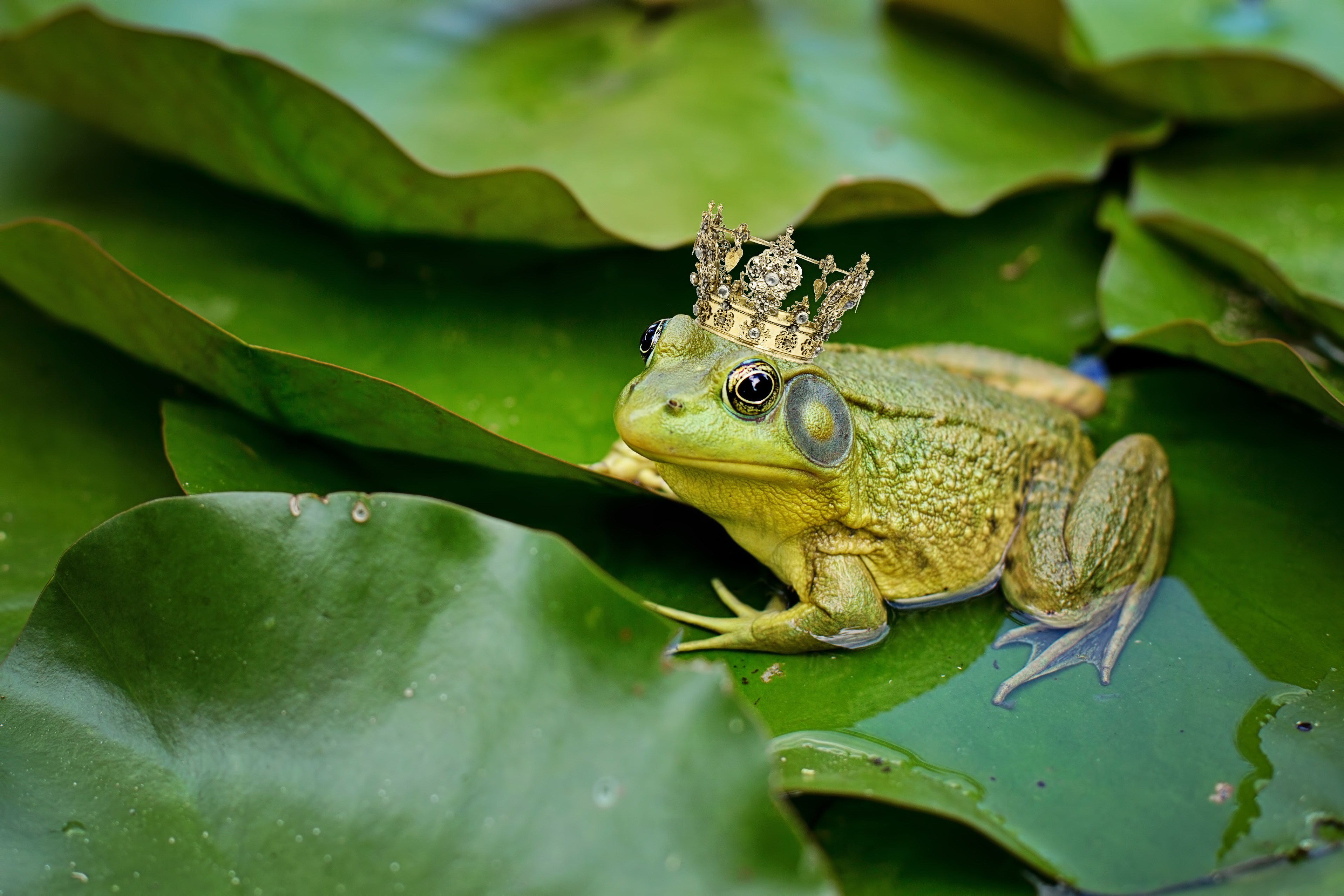 green, bull frog, pond, lily pad, crown,