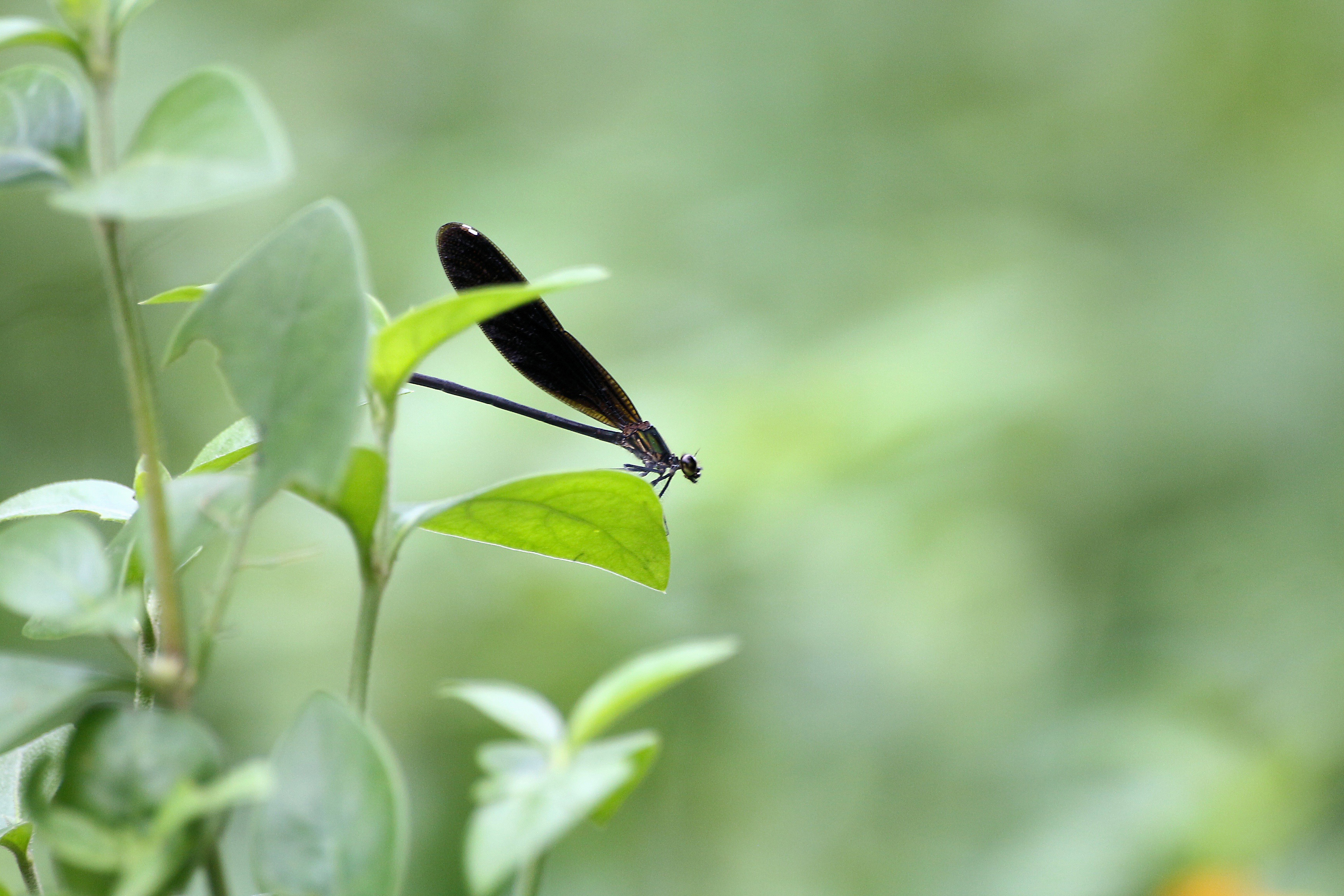 butterfly, sitting, belize, leaves,