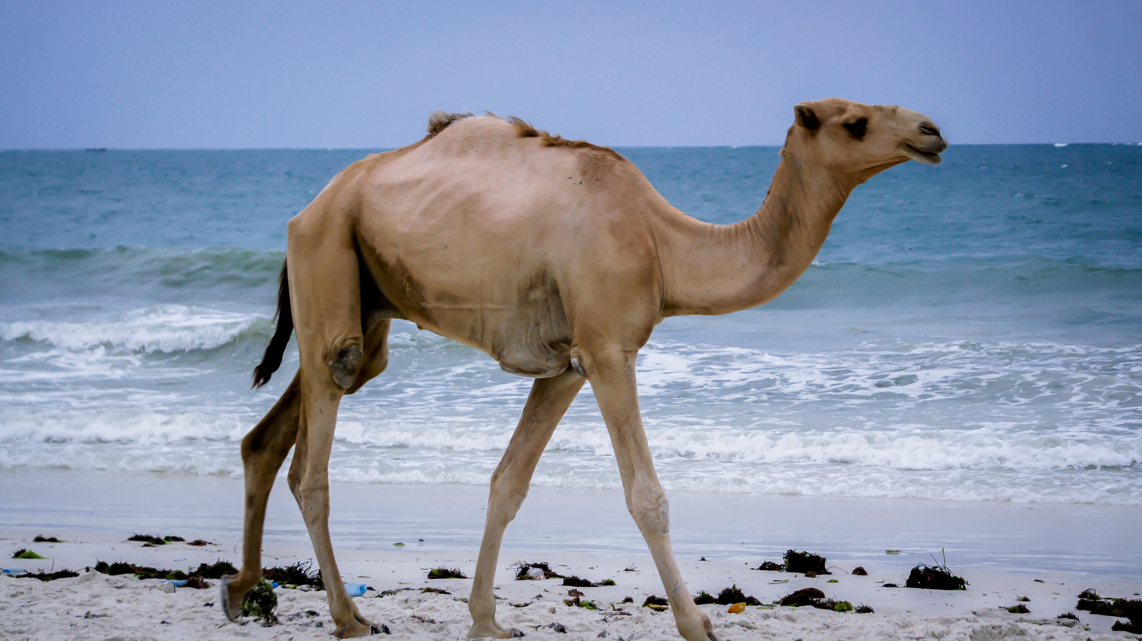 Camel,water,wave,beach