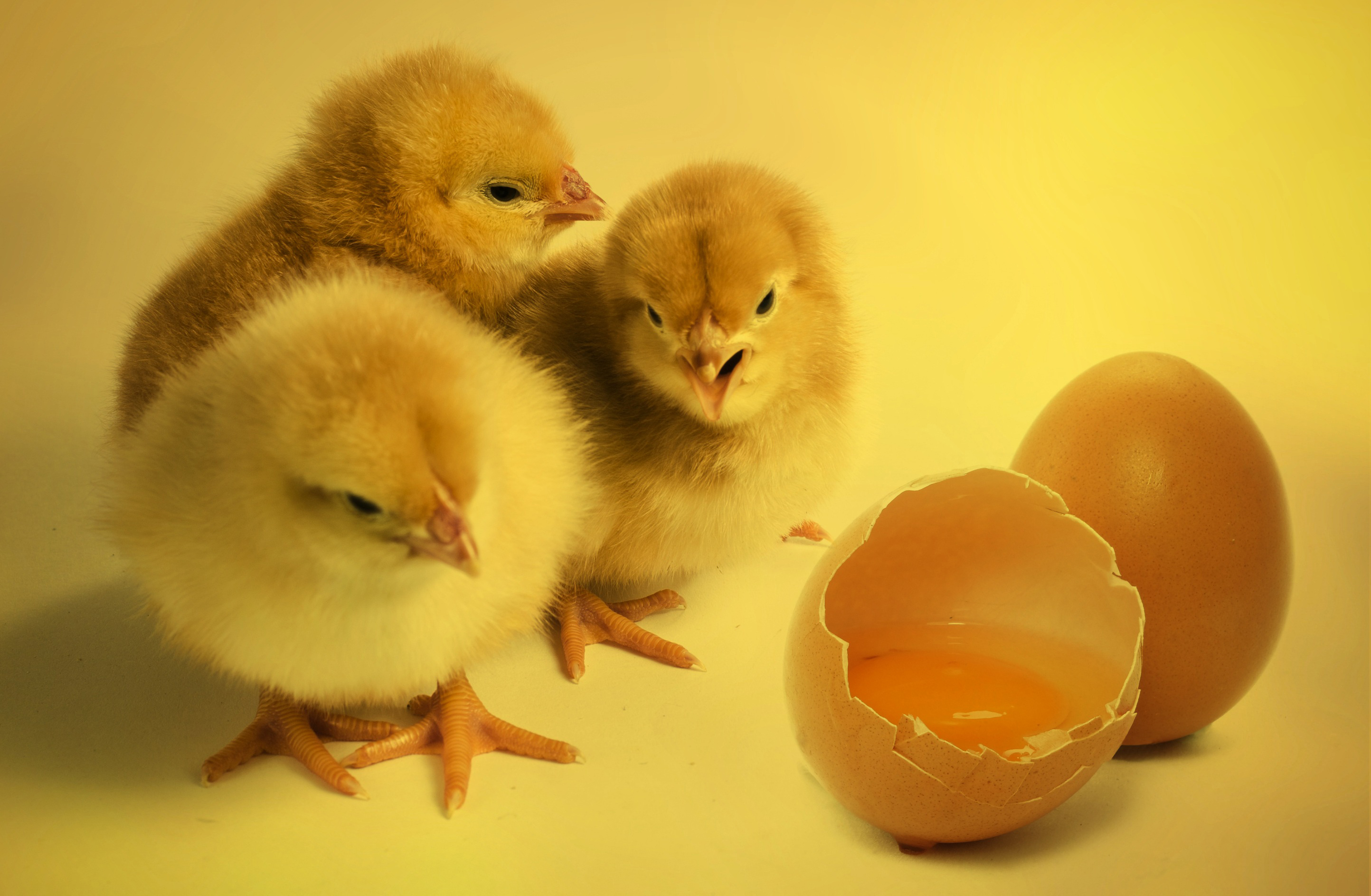 Chicks,nice,yellow,poultry