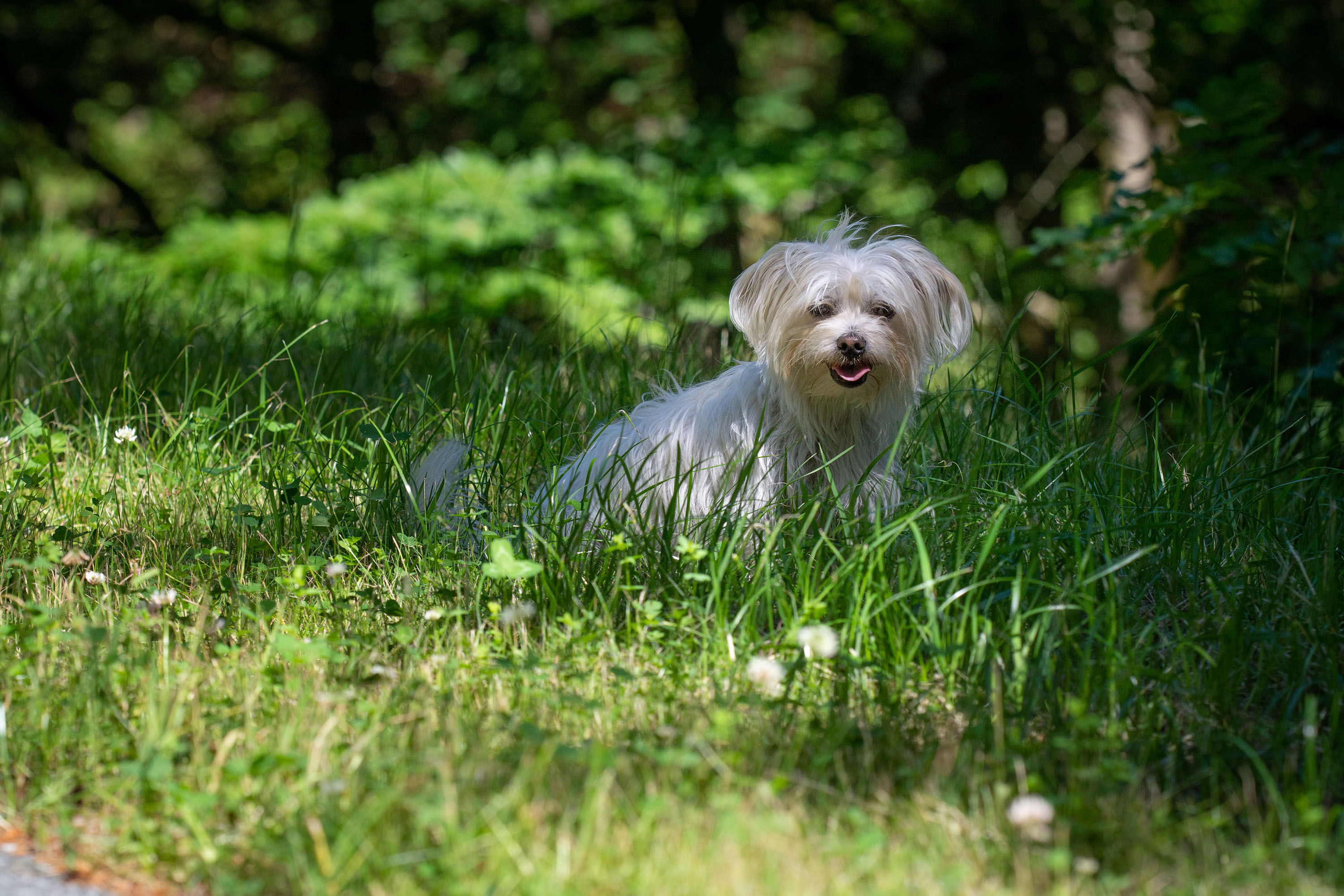 dog, meadow, shadow, white, small,