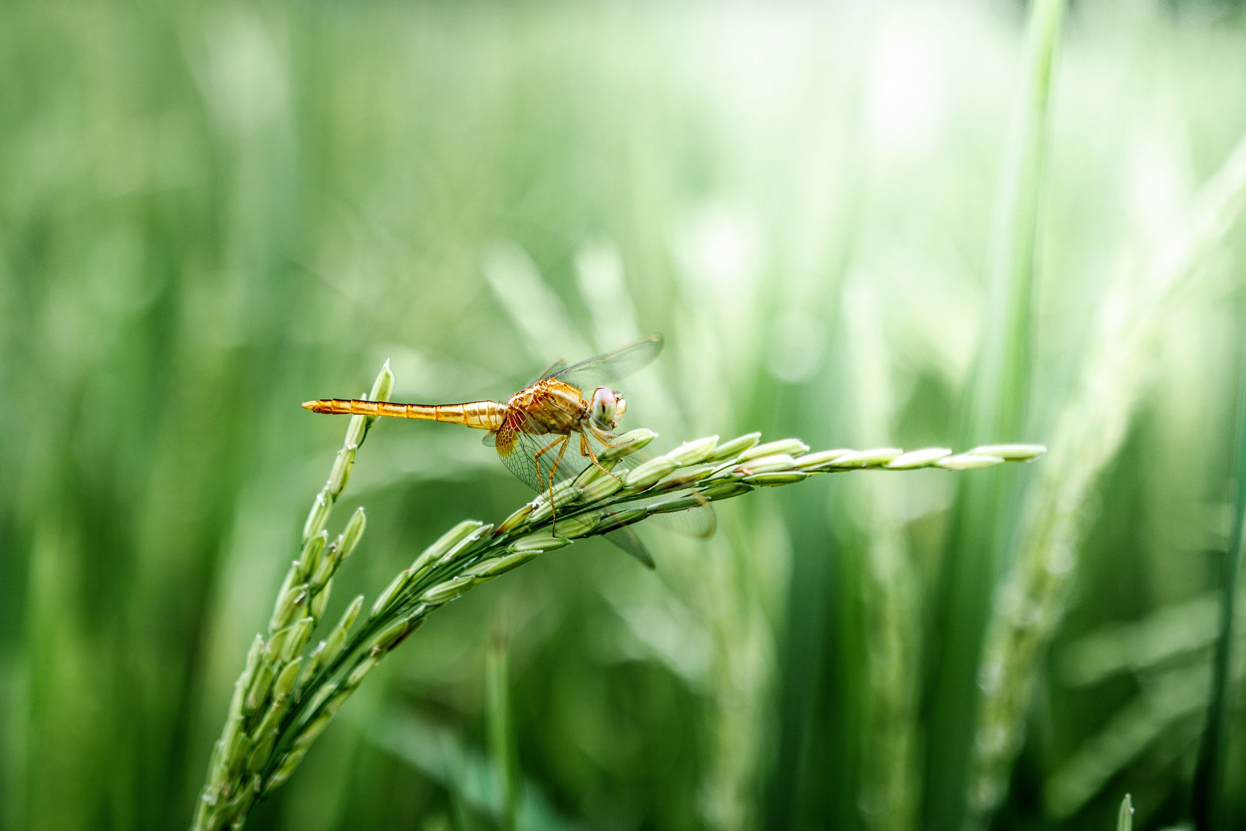 dragonfly,grain,green, peaceful,
