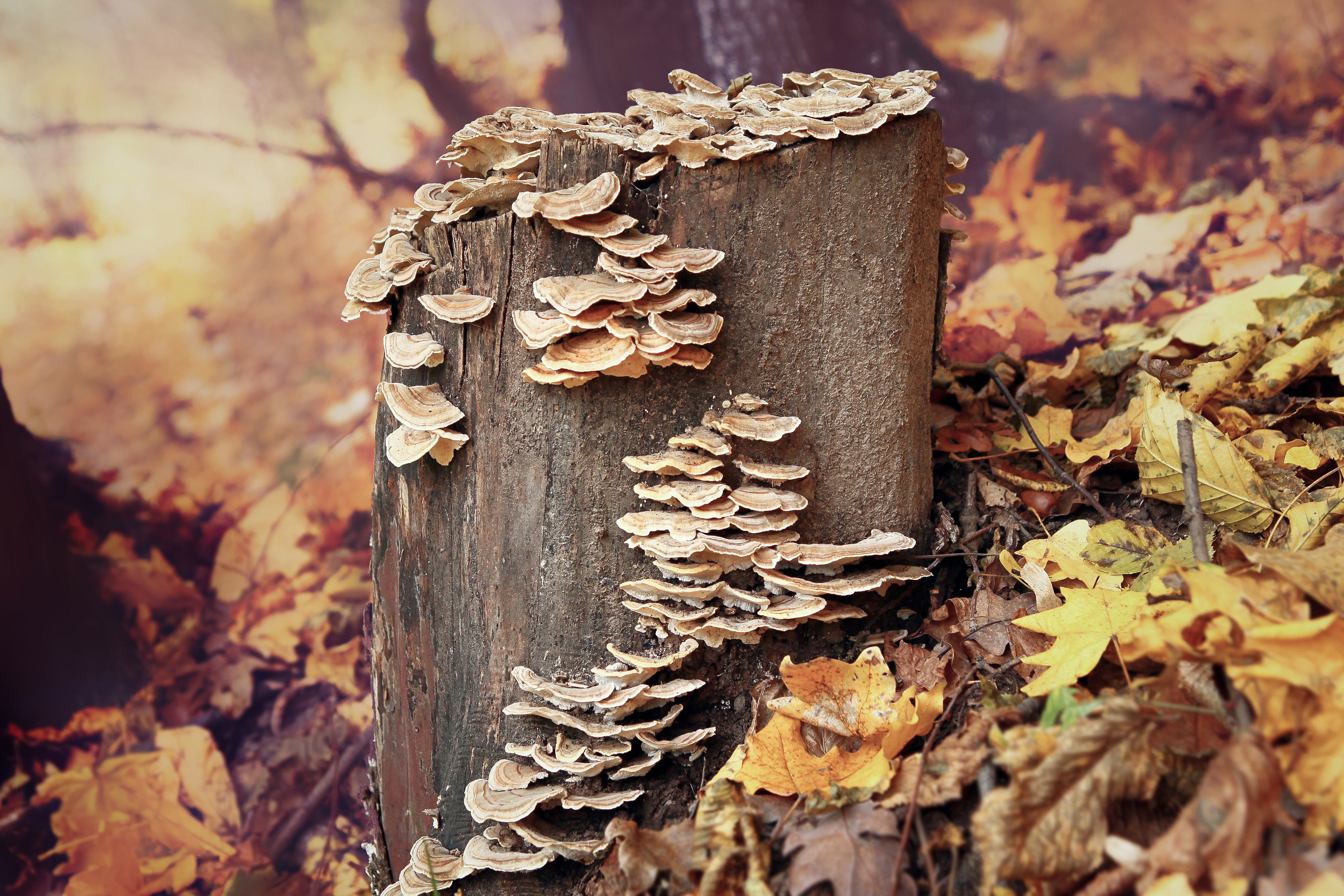 fall, nature, wood, tree, leaf, wooden,