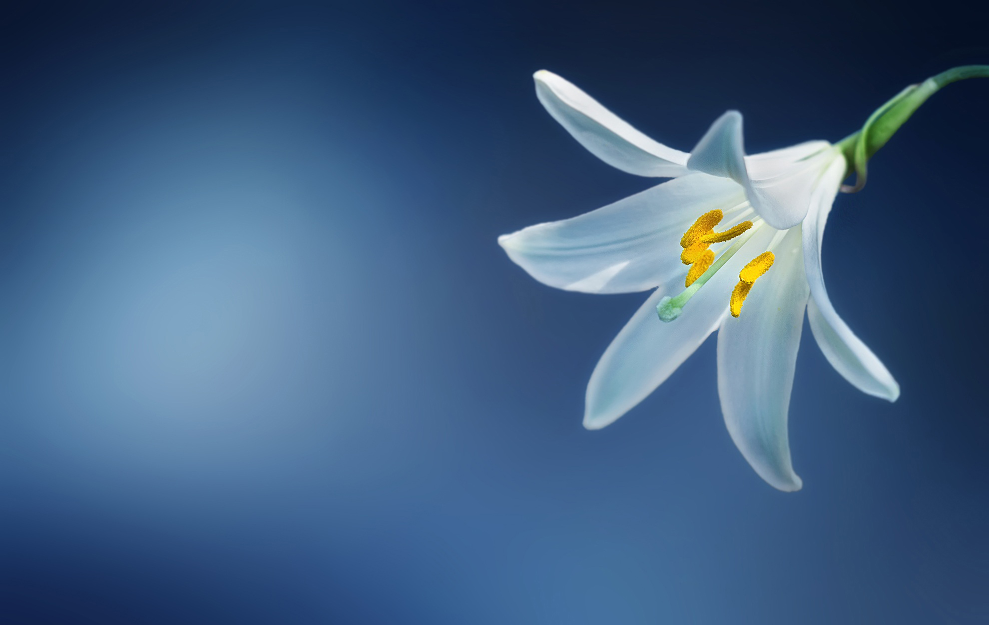 flower, lily, madonna lily, white lily,