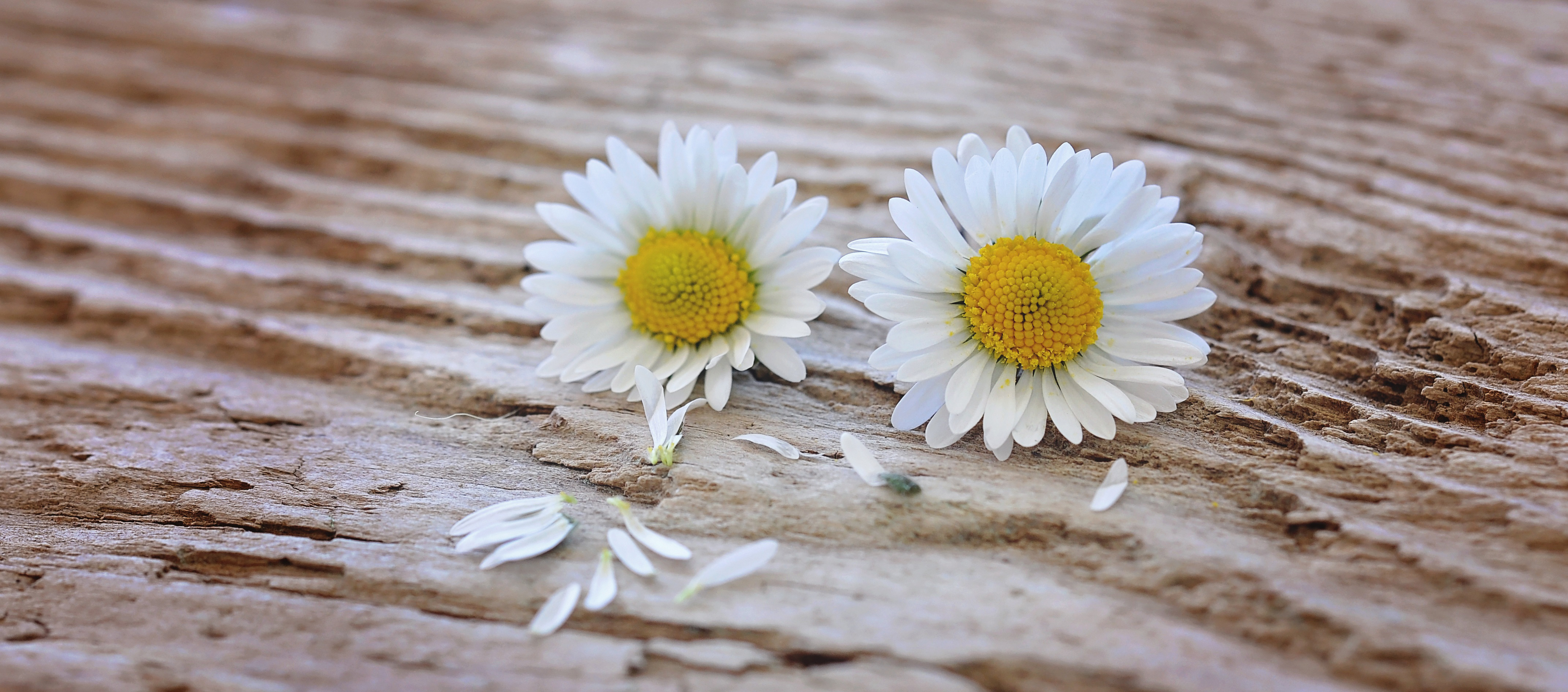 Flower,daisy,wood,close