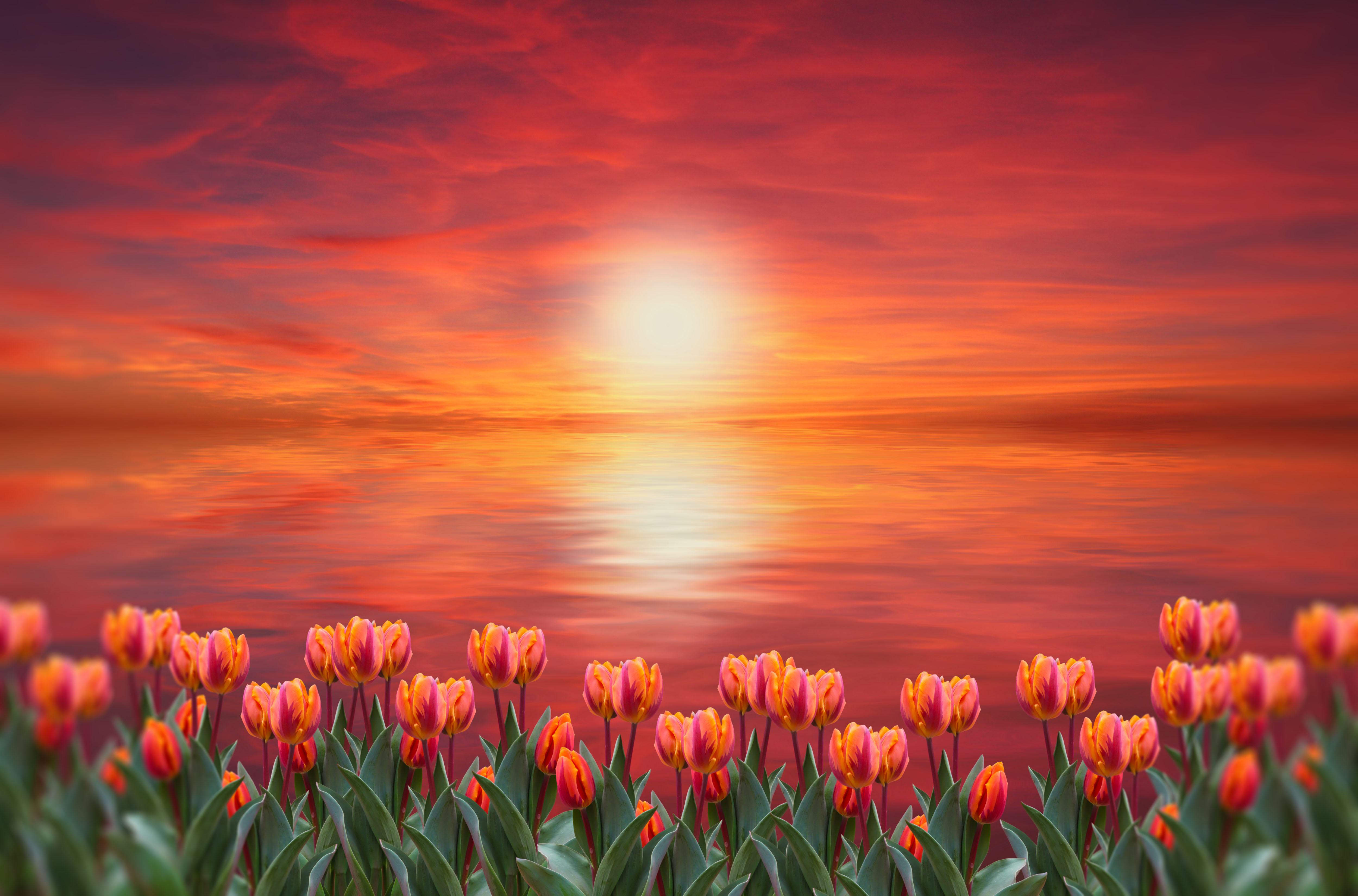 flower, tulips, sunset, horizon, color, red,