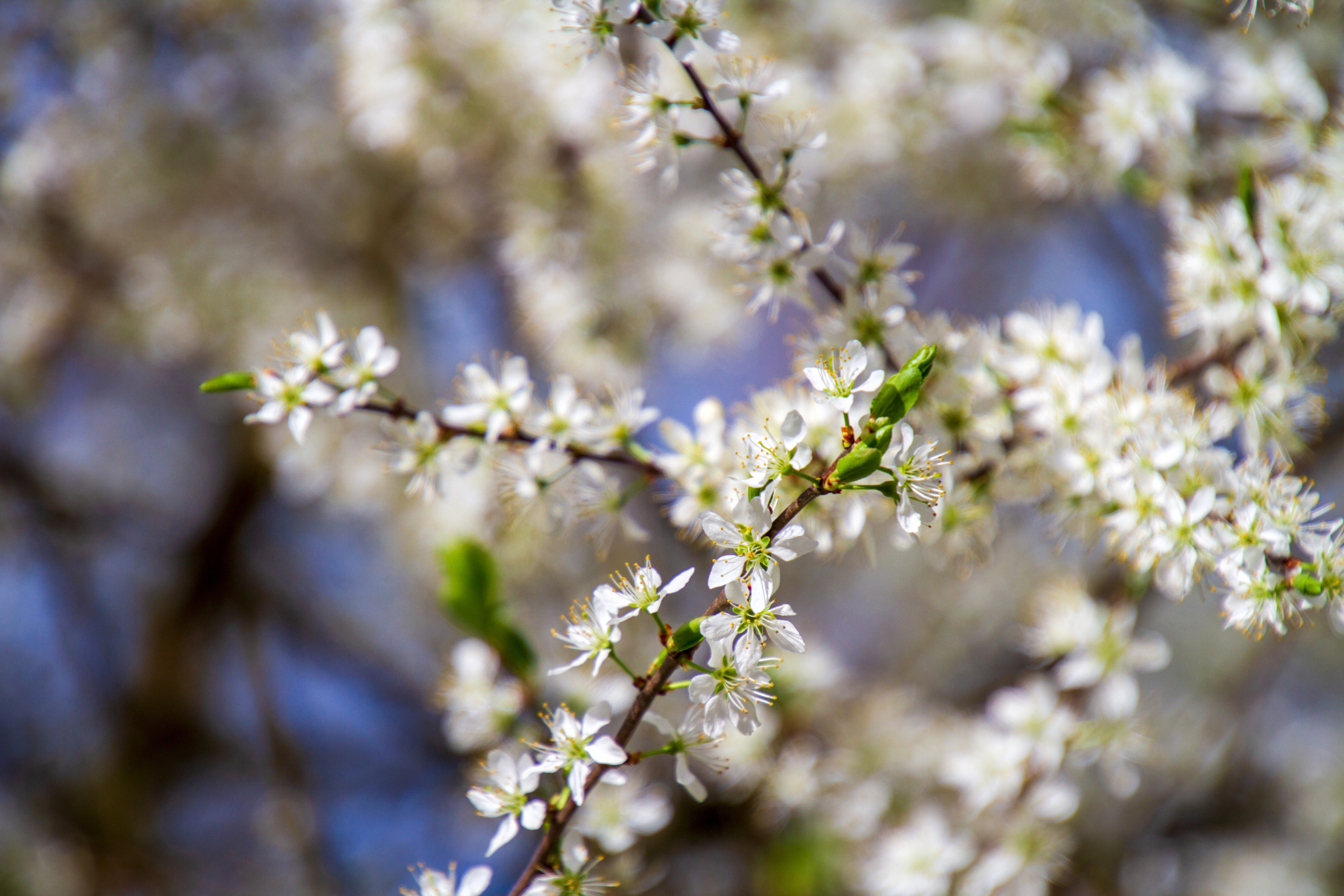 flowers, white, tree blossoms, nature, branch,