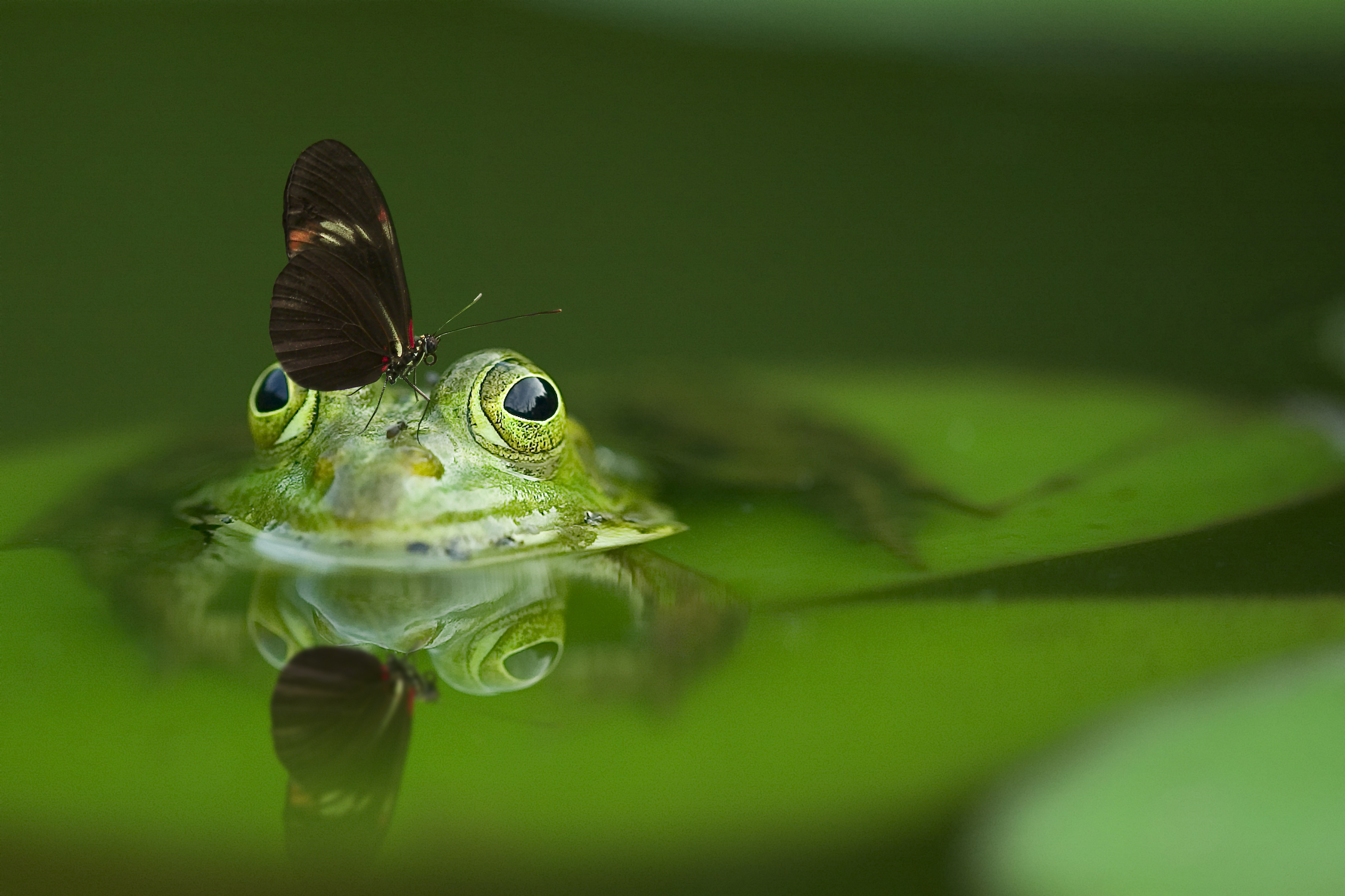 frog, butterfly, pond, nature, water, marco,