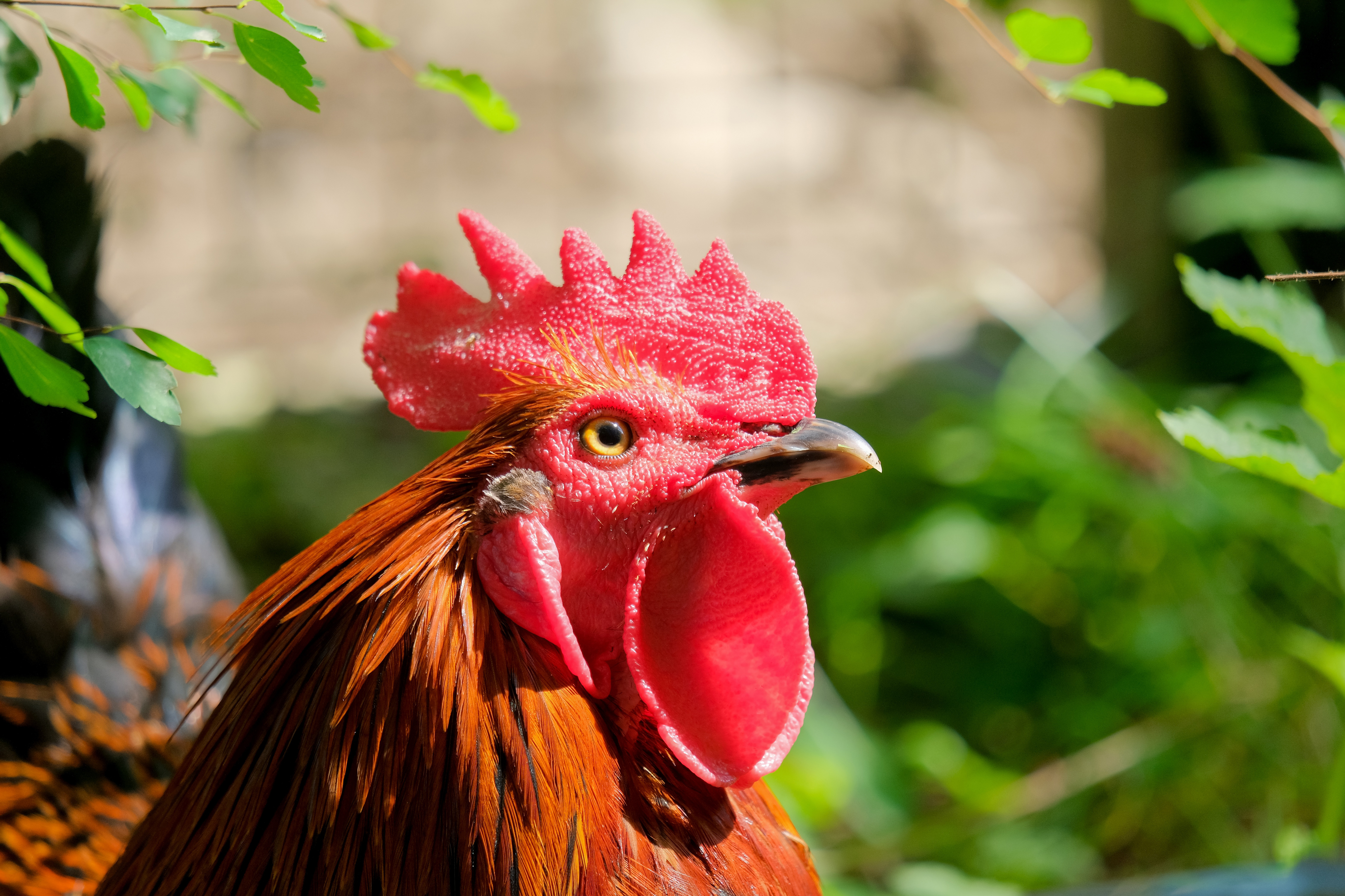 hahn, animal, poultry, gockel, comb, red,