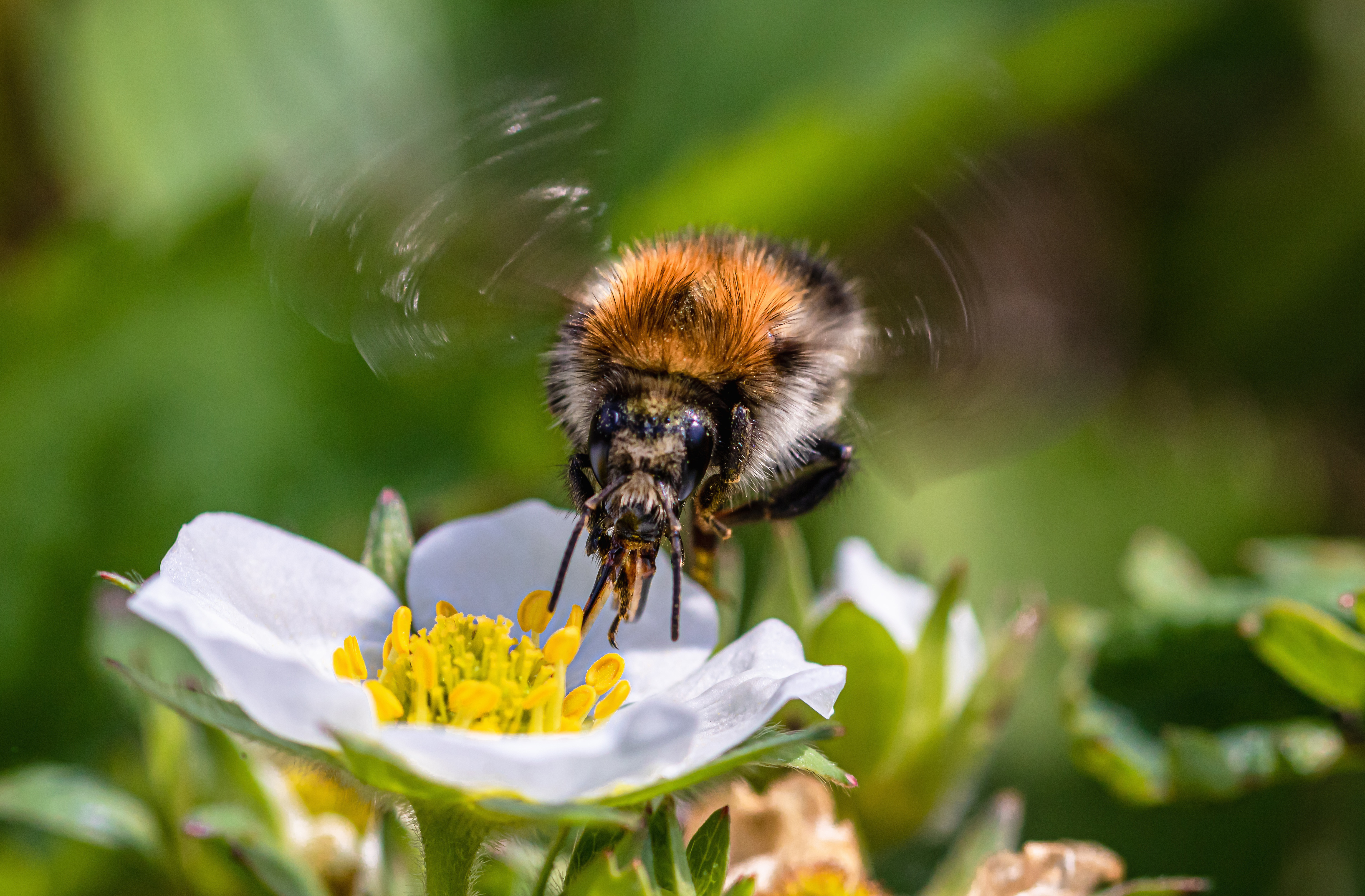 heath the bumble bee, strawberry flower, hummel, insect,