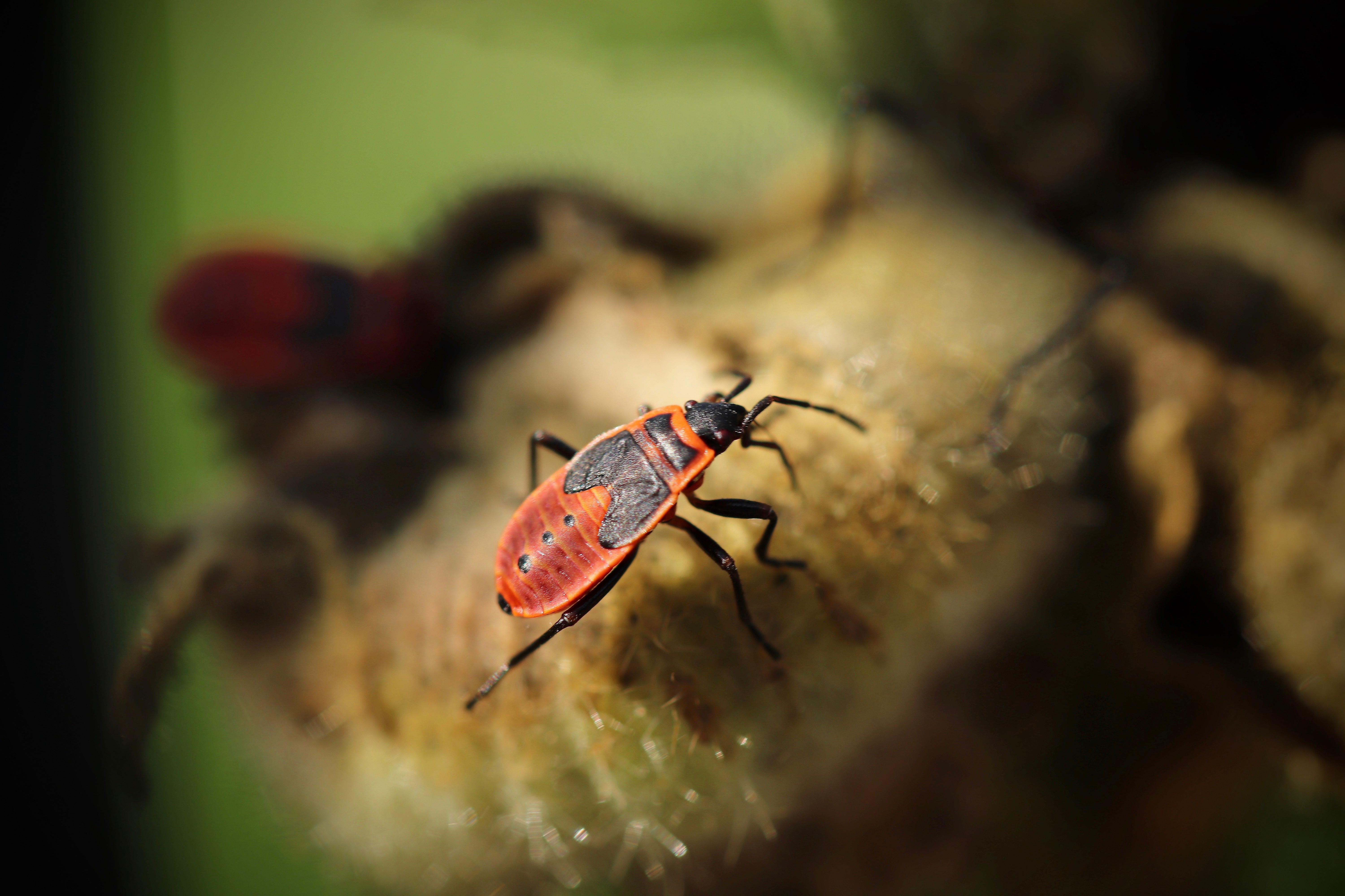 insect, fire bug, bug, close up, nature,