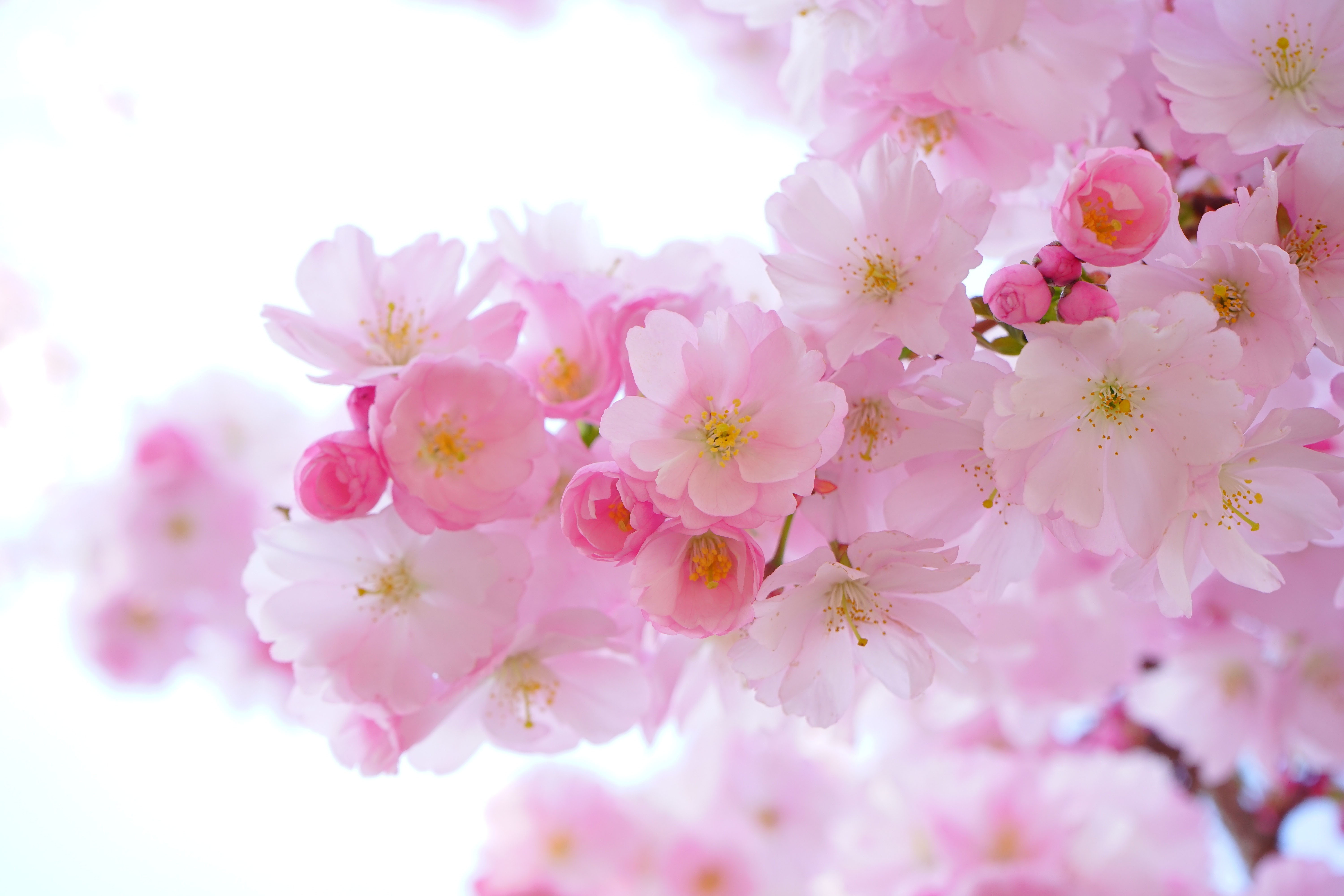 flowers, japanese cherry trees, spring, color, pink,