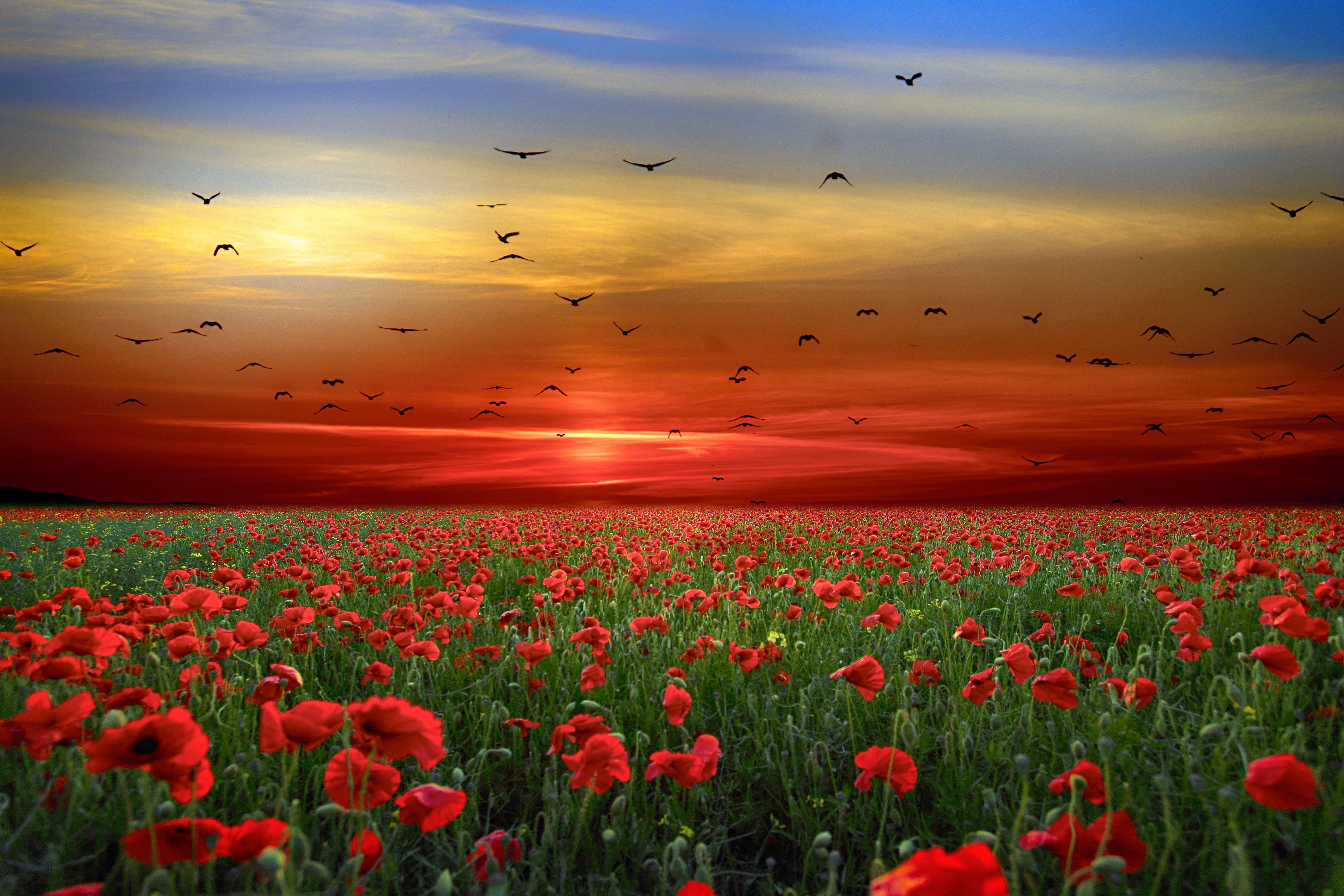 flower, sunset, birds, sky, redflower