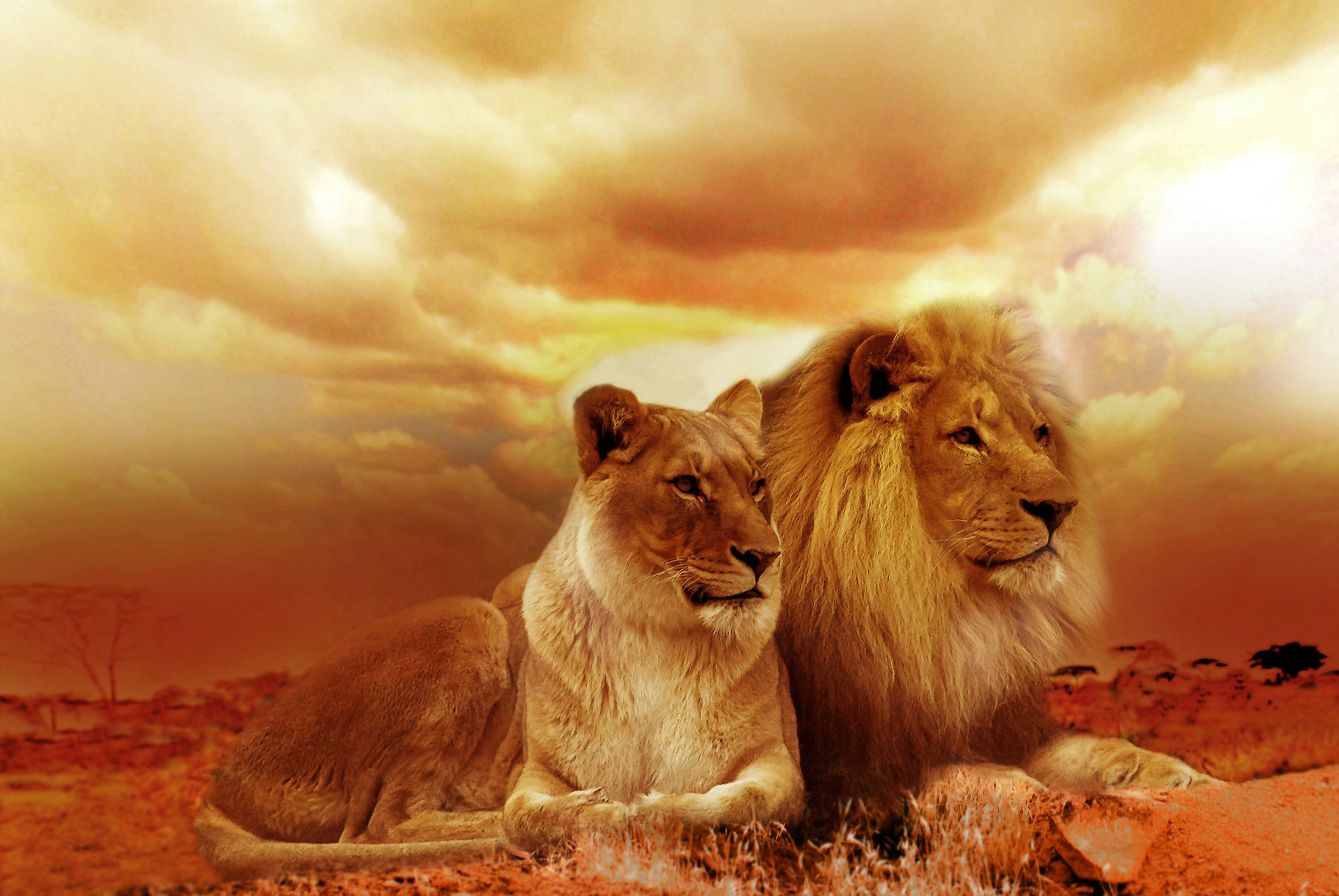 Lion and Lioness sunset