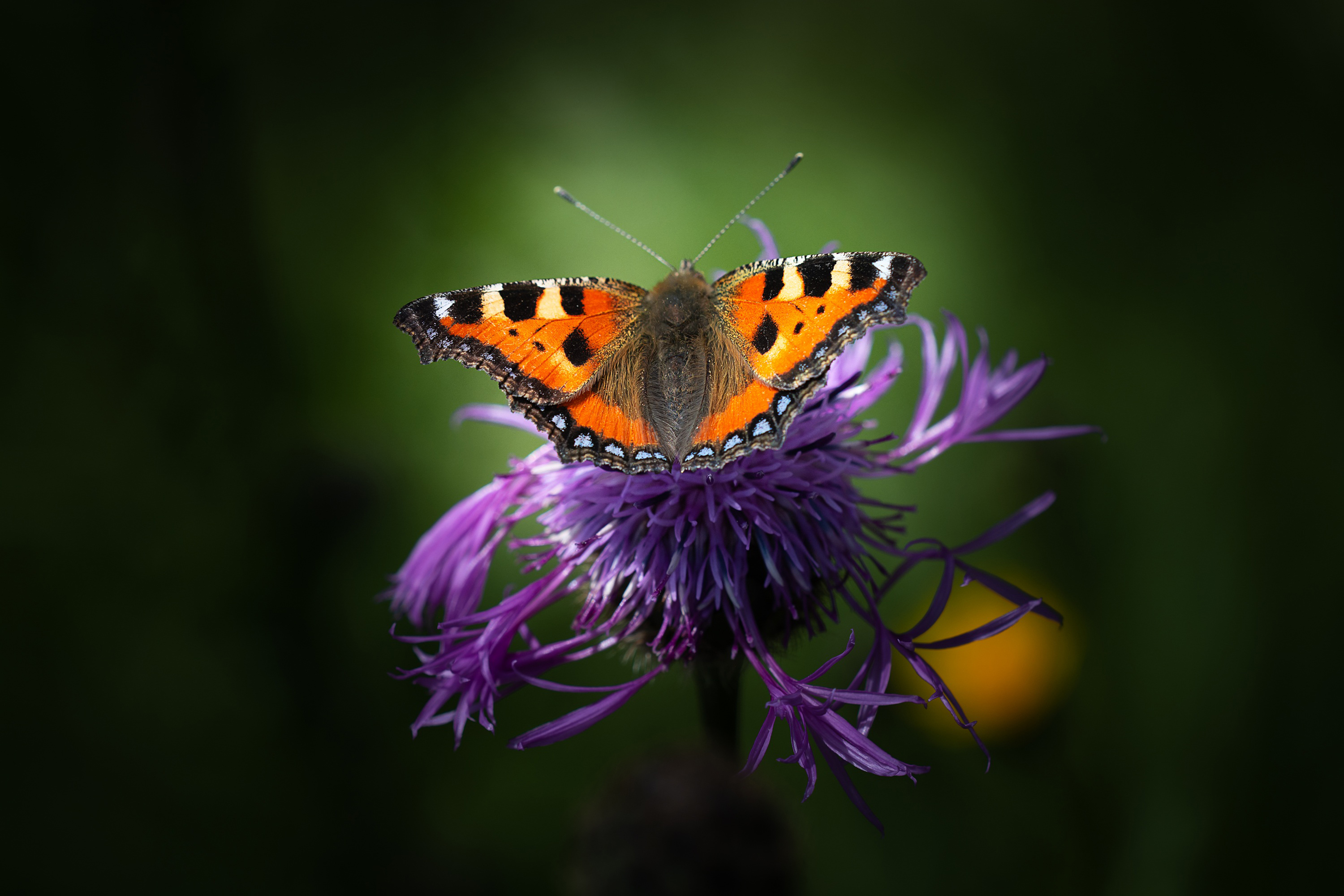 butterfly, little fox, insect, small,