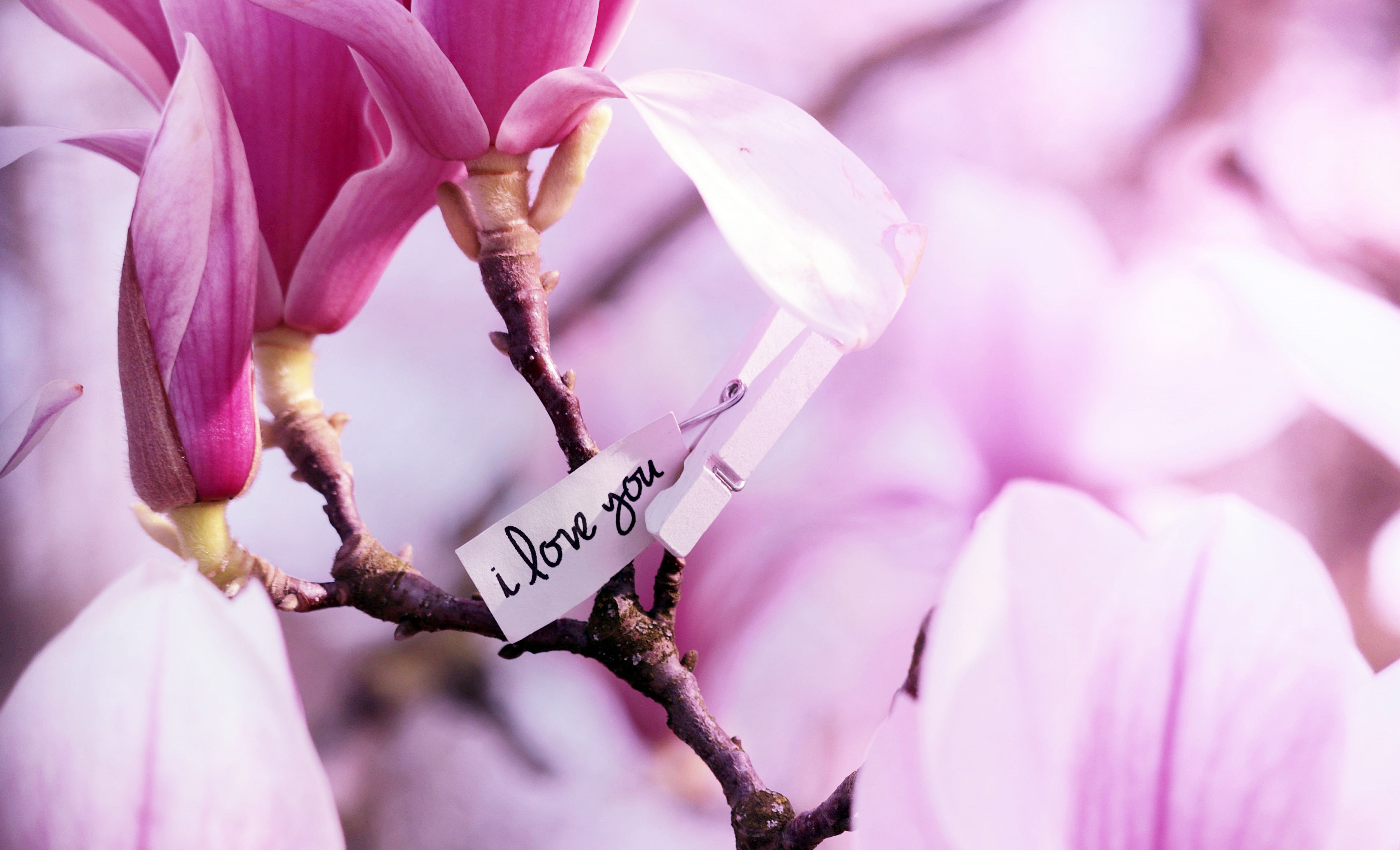 pink, magnolia, spring, nature, flowers, branch, tree,