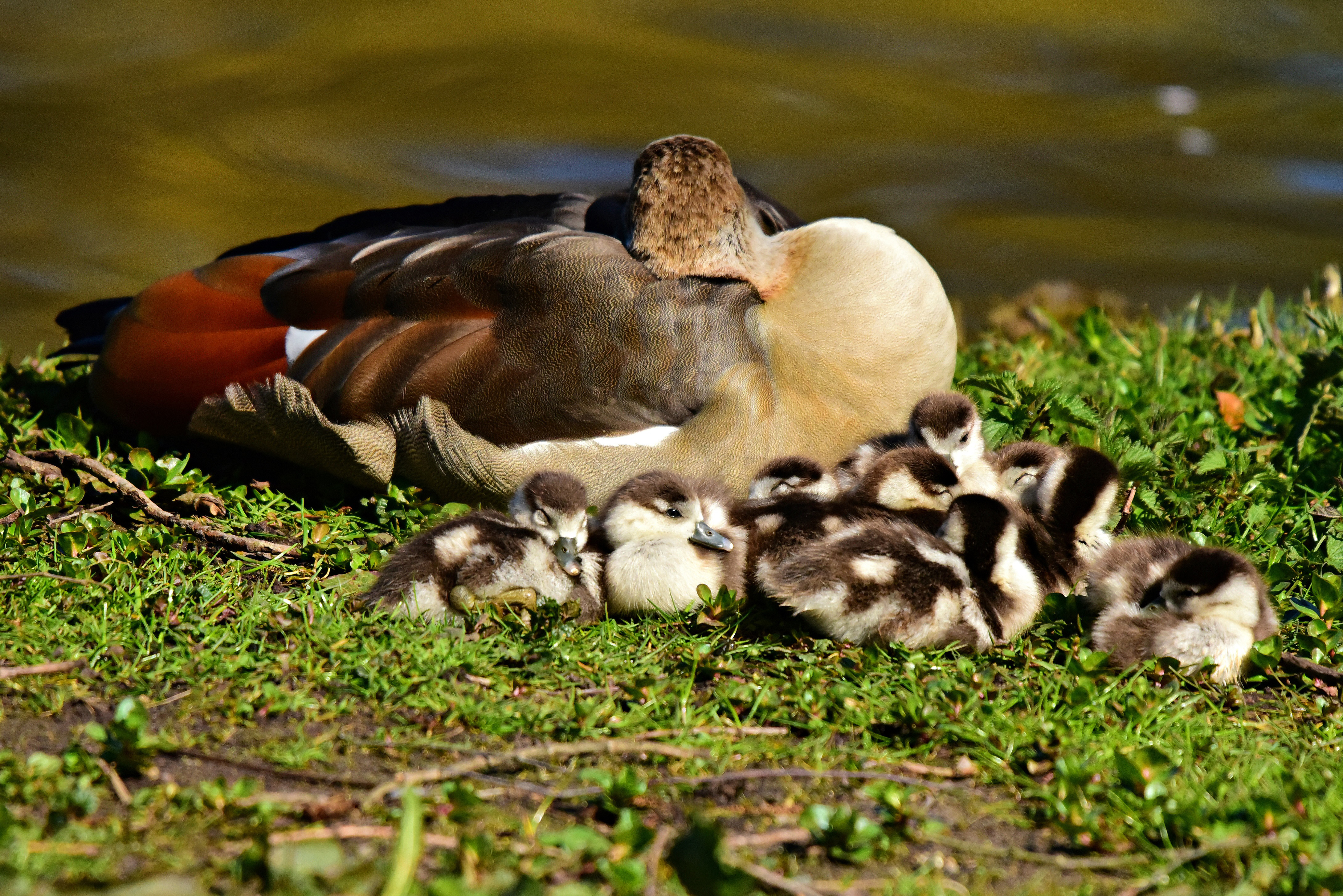 nile goose, water bird, animal, chicks, young, parent,