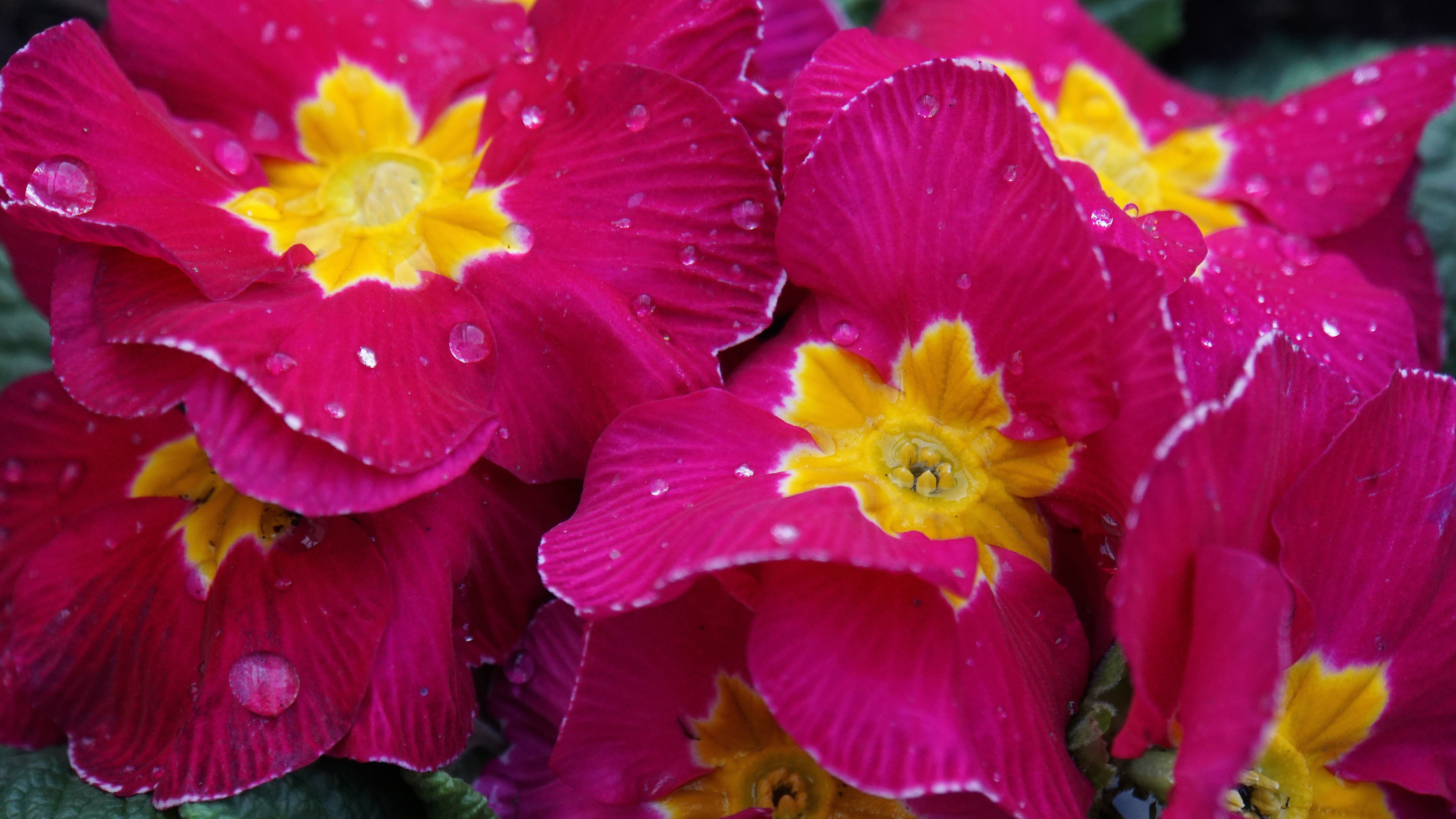 flowers, spring flowers, wet, drop of water, plant, nature, pink,