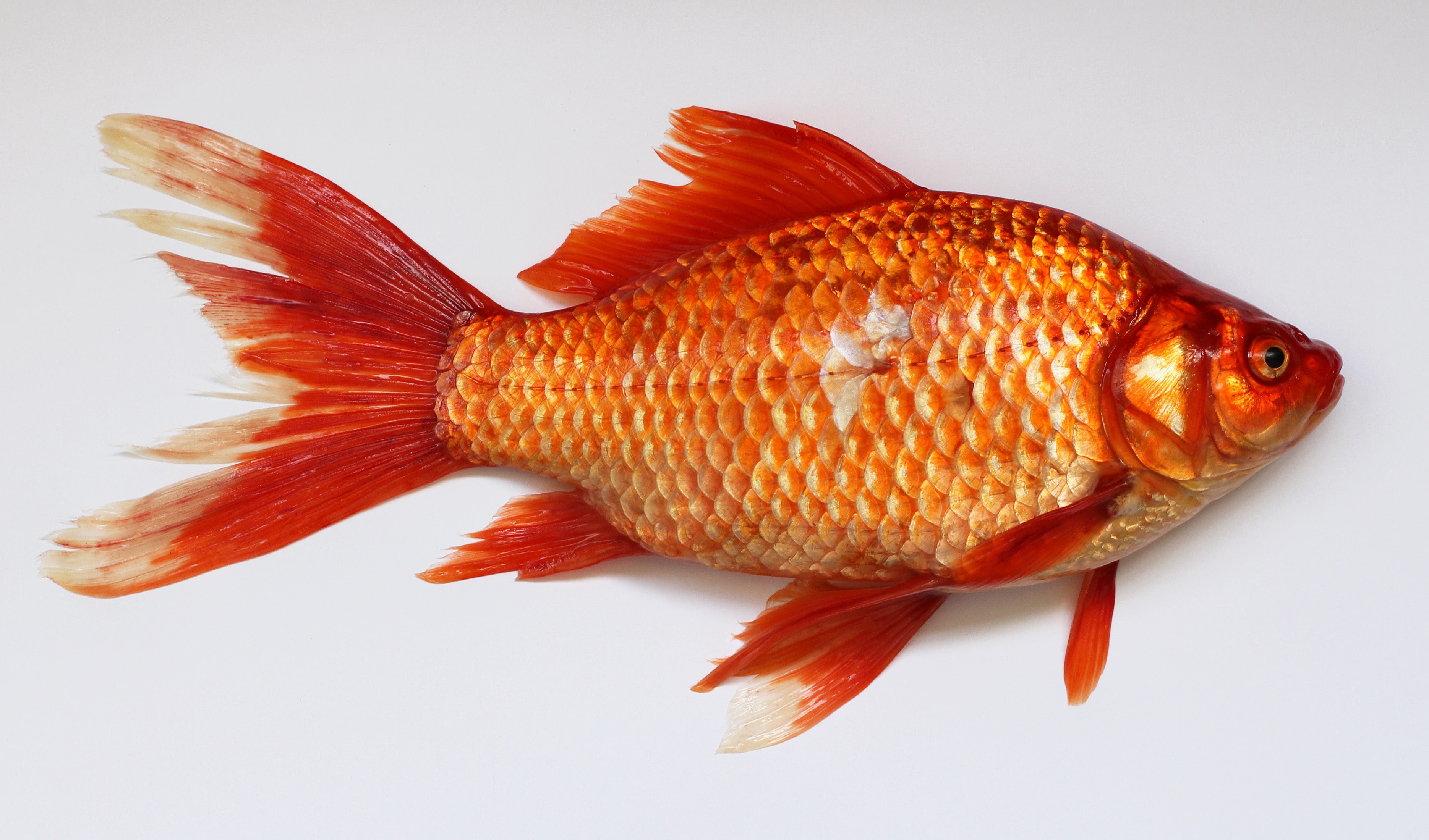 Red Fish golden
