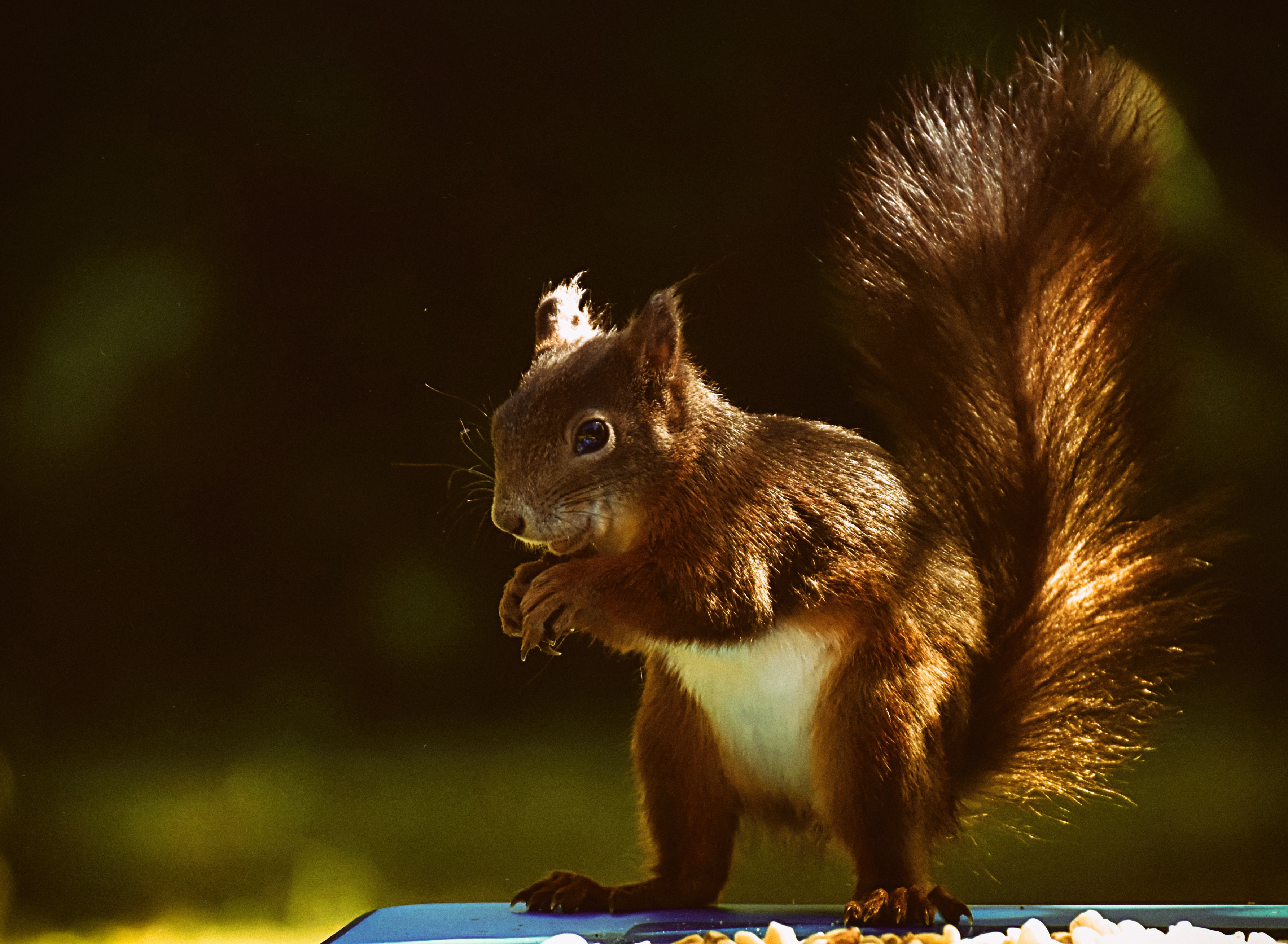 squirrel, animal, nager, nature, cute,