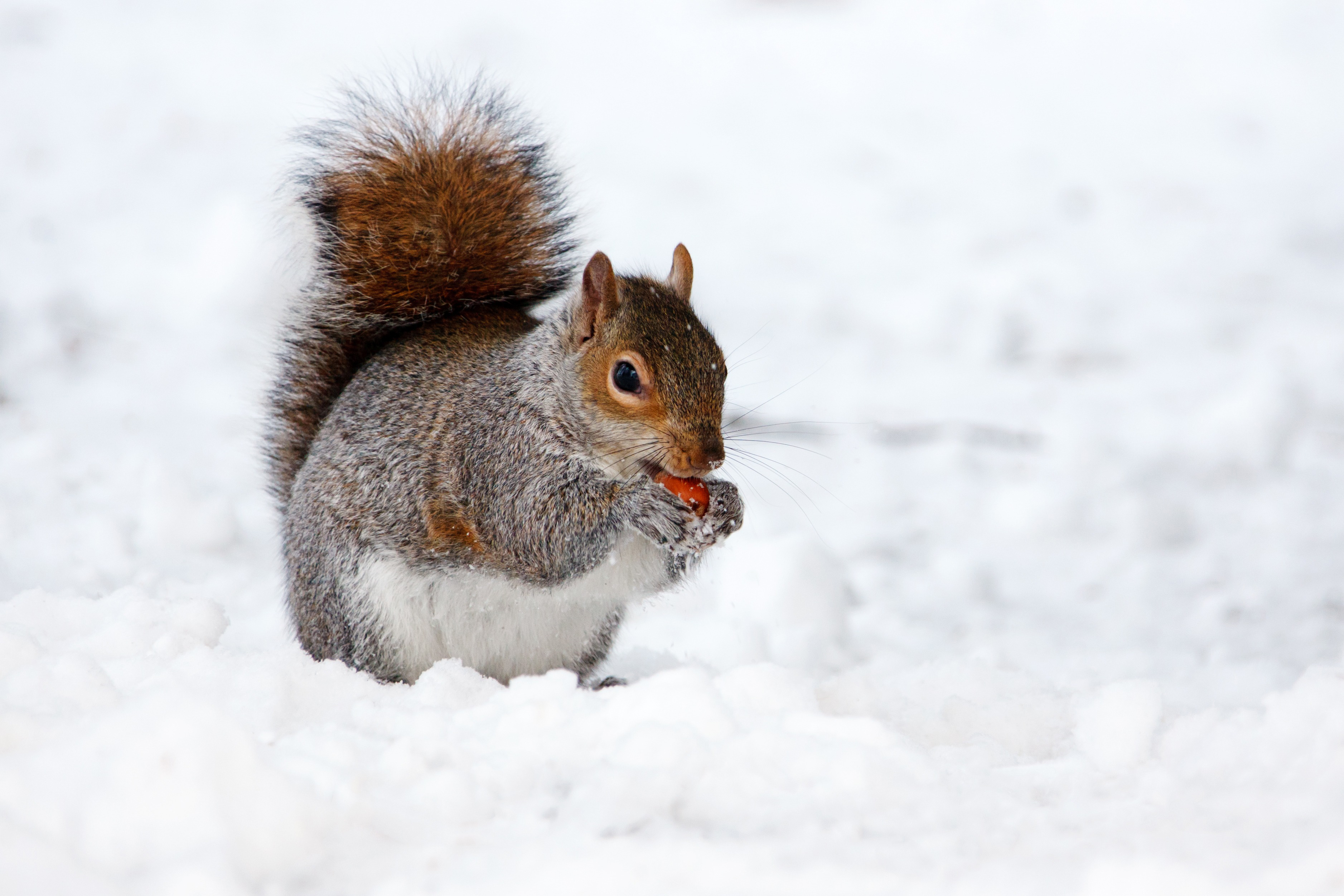 Squirrel,animal,small,cold,eat