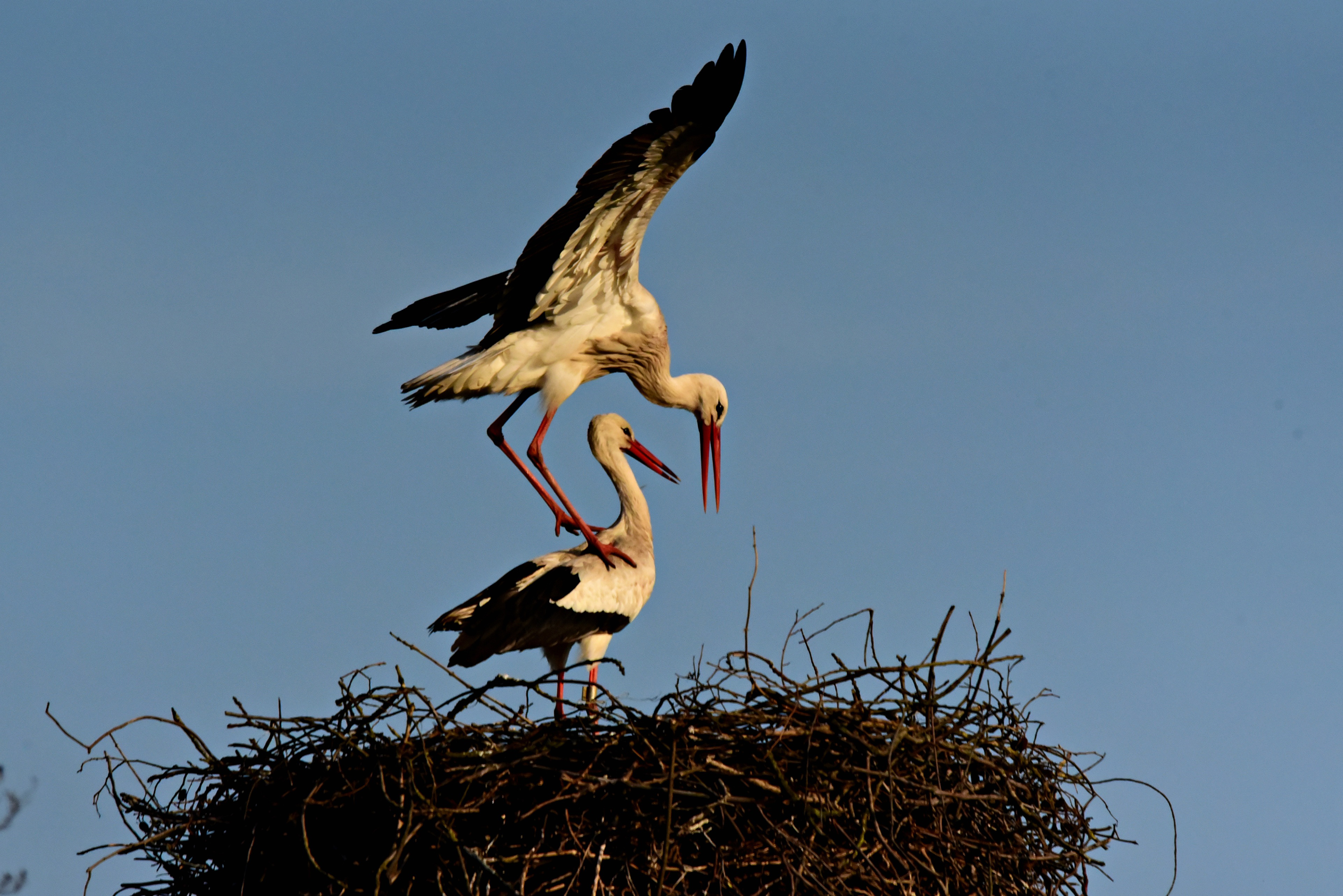 stork, bird, animal, mating, nest, wing, feather,