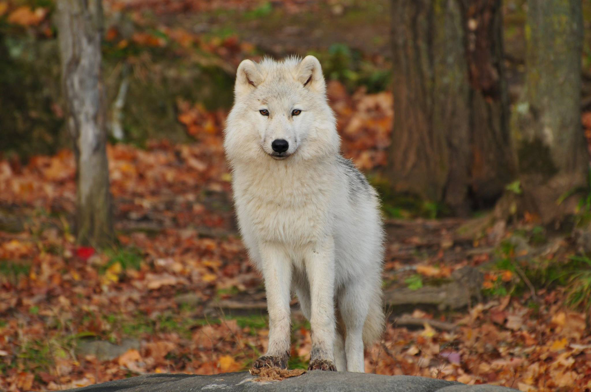 White wolf looking