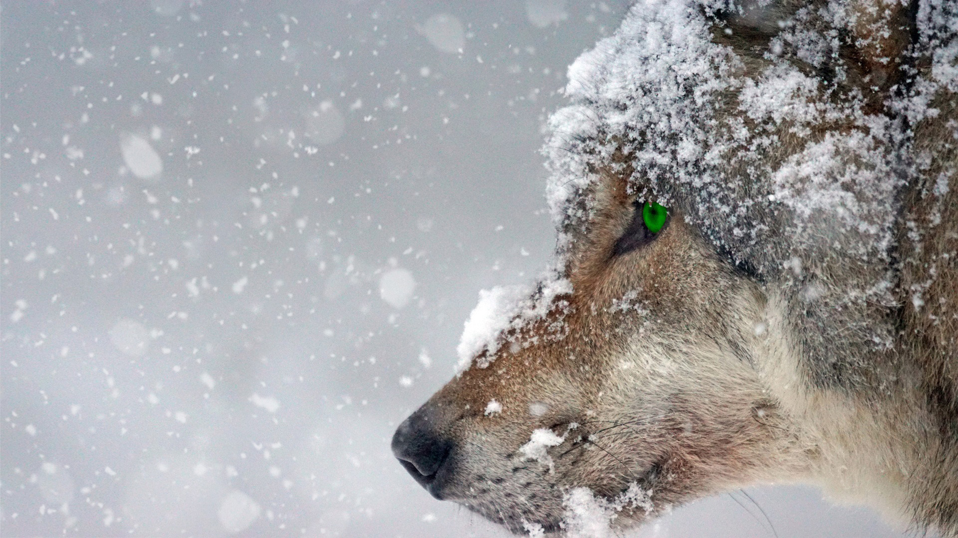 Wolf staring cold